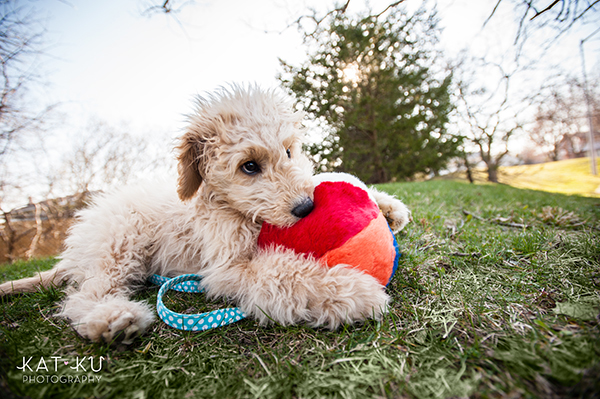 Kat Ku Pet Photography - Minnie Goldendoodle_10