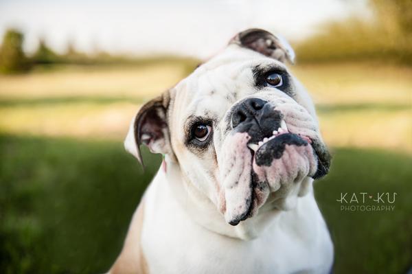 kat-ku-gemma-english-bulldog-pet-photography_06