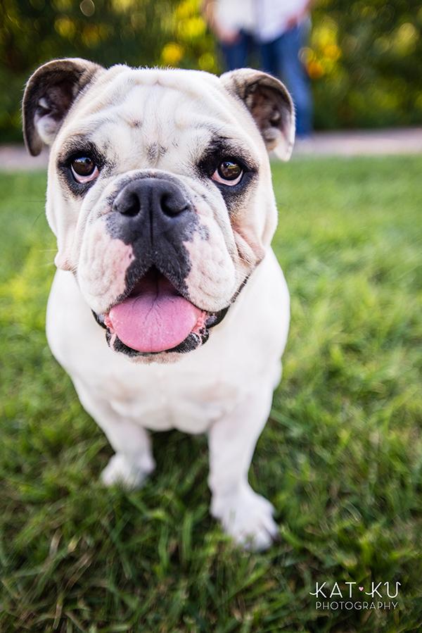 kat-ku-gemma-english-bulldog-pet-photography_09