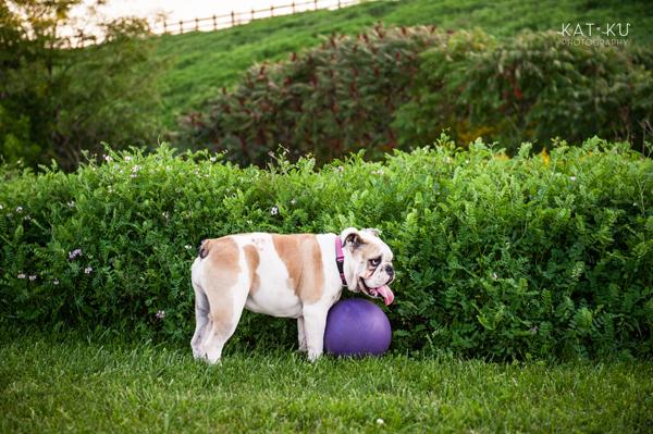 kat-ku-gemma-english-bulldog-pet-photography_18