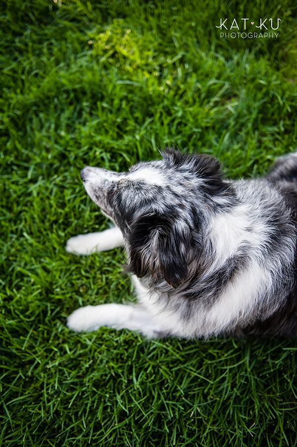 kat-ku-sara-australian-shepherd_15