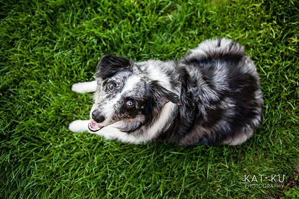 kat-ku-sara-australian-shepherd_16