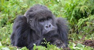 Budget Gorilla Trekking Budget Gorilla Trekking in Uganda Bwindi Impenetrable park