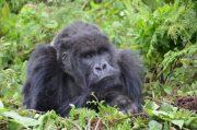 Budget Gorilla Trekking Uganda 7 Days Bwindi Impenetrable National Park
