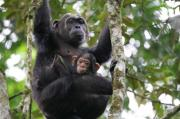 Kibale Forest National Park Uganda - Chimpanzee Tracking - CHEX