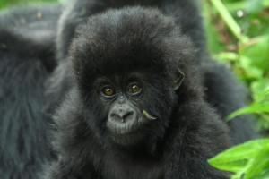 Rwanda Gorilla Adventure