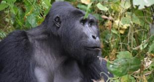 Chimpanzee - Gorilla Trekking Uganda