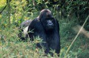 Congo Gorilla Tours and Gorilla Safaris
