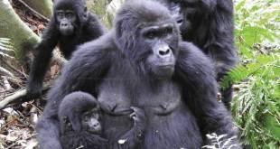 1 Day Gorilla Tour Uganda