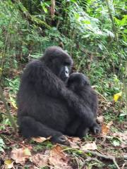 2 Days Gorilla Trekking Uganda in Bwindi Forest
