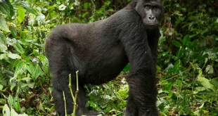 Kahuzi Biega National Park Gorilla Trekking