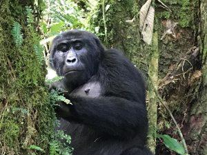 See Gorillas in Rwanda
