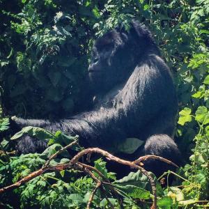 One Day Gorilla Trekking Rwanda