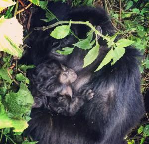 Book Congo Gorilla Permits