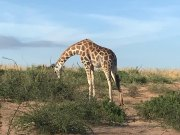 Uganda Cultural Wildlife Gorilla Africa Safari 7 Days