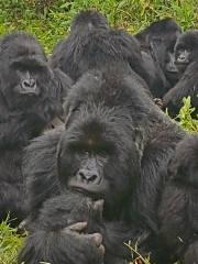 End of year Gorilla Trekking and New Year Gorilla Tour 2 Days