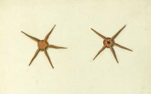 Animal-Curiosity-Star-Fish-Italian-2-e1400701529894