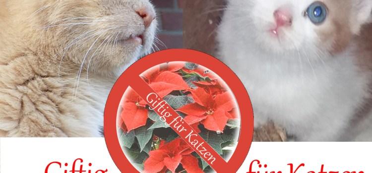 Weihnachtsstern giftig für Katzen