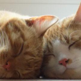 Coronavirus COVID-19 gefährlich für Katzen?