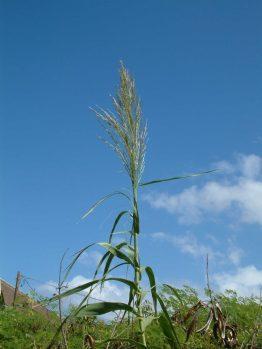 Arundo grass seed head