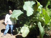 Bingabing large leaves