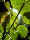 Bingabing stems