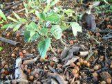 Bishop Wood seedling