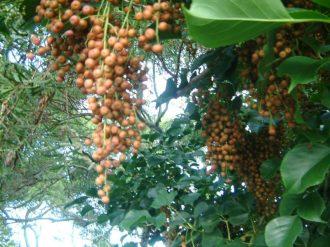 Bishop Wood seeds and leaves