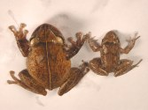 Coqui Frog on left, Greenhouse frog on right