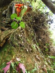 Miconia seedlings on cliff face