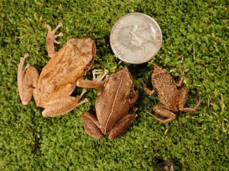 Coqui Frogs on left and Greenhouse frog on right Photo: CTAHR