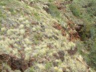 Hillside infestation of fountain grass