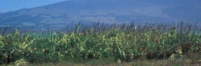 Large patch of arundo