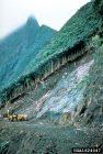 Miconia causing erosion in Tahiti