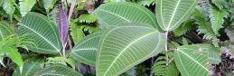 Miconia plants