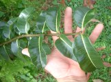 Rubbervine glossy leaves