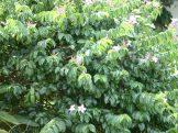 Rubbervine