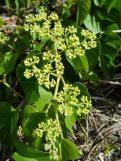 Seasonvine flower clusters with fruit