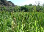 Thick-cattails-in-Makaweli-Valley-small