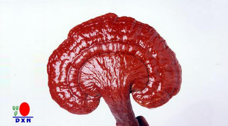 Ganoderma gyógygomba hatásai