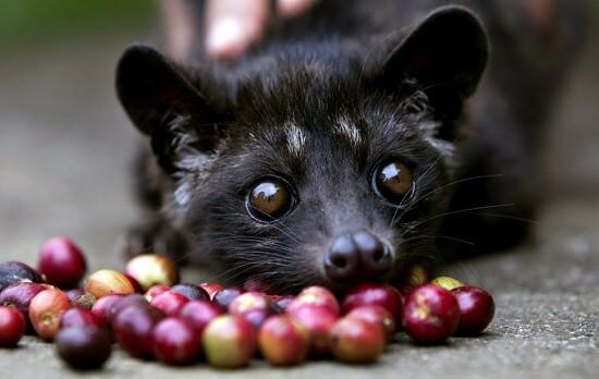 Kopi-Luwak-a-cibet macska kávéja