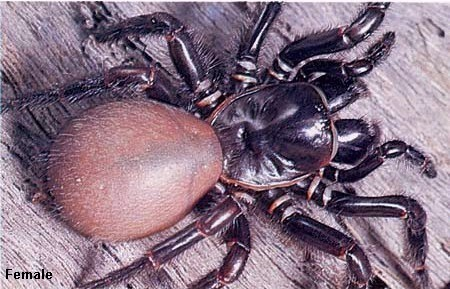 Toowoomba funnel-web spider