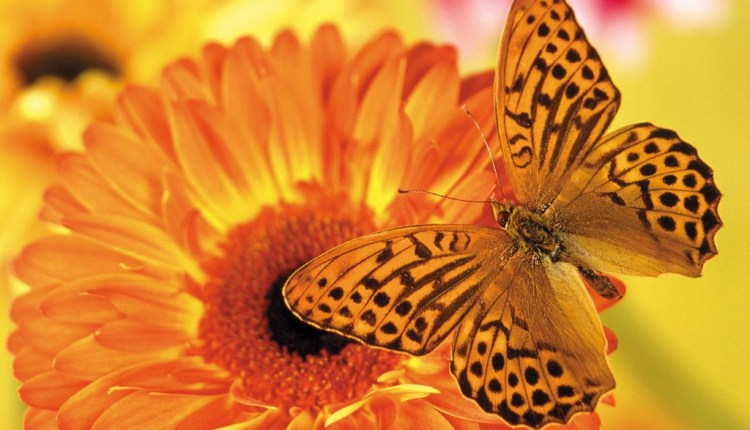 orange_butterfly_attracted_to_orange_flower.jpg