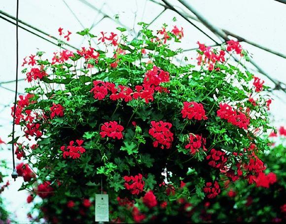 Shade Plants Hanging Baskets