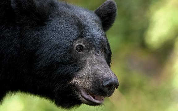 Bears of Anan