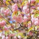 Cherry Blossom Travel Photography