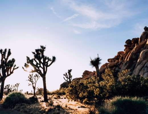 Photo of Joshua Trees