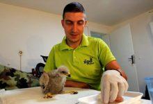 Photo of Niš: Brinu o mladunčetu orla ispalog iz gnezda