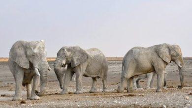 Photo of Zimbabve: Od posljedica suše uginulo više od 200 slonova