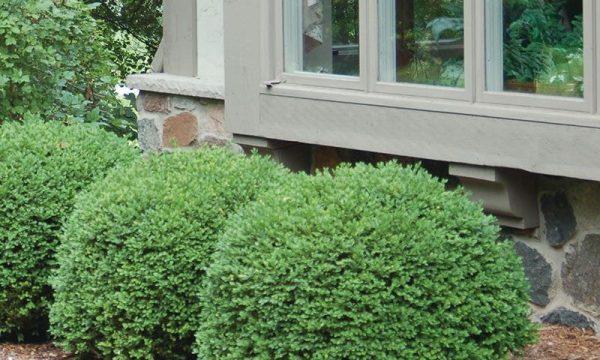 foundation shrub alternatives